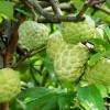 Giới thiệu sản phẩm trái Mãng cầu (phần 2)